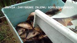 Zarybienie Zalewu Boryszew