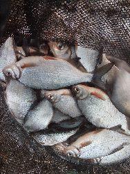 Pory ¿erowania ryb.