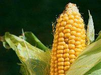 Smakowa kukurydza