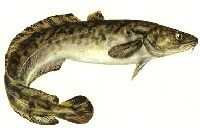 Miêtus - listopadowa ryba